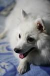 My Family Dog – Japanese Spitz