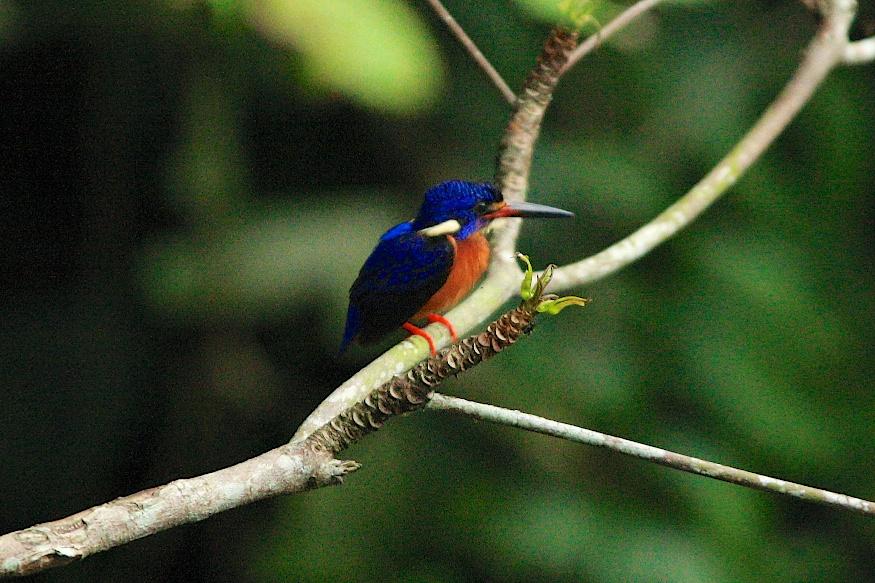 Beautiful Blue-Eared Kingfisher